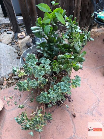 """Yard & Garden - potted galvanized bucket, 9.5""""hx15.5""""w (26""""h)"""