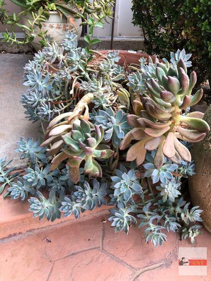 "Yard & Garden - terra cotta planter pot 15""hx15""w with succulents, 1 is perennial ""pinwheel"""