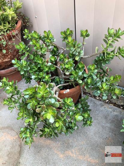 "Yard & Garden - terra cotta planter pot 12""hx12""w (23""h) with Jade tree plant"