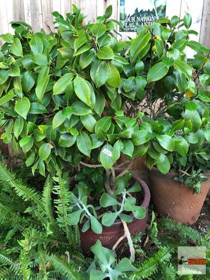 "Yard & Garden - lg. planter pot 21""wx16""h (52""h) w/gardenia & succulents"