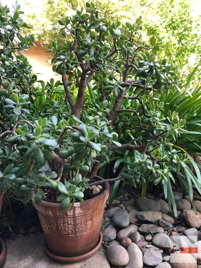 Yard & Garden - Lg. terra cotta planter pot with lg. jade tree plant