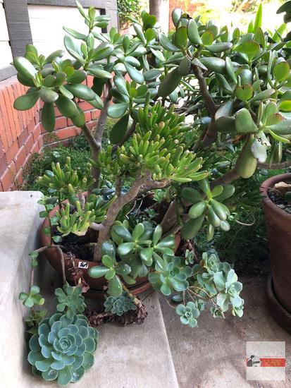 Yard & Garden - terra cotta planter pot with jade tree plant and succulents
