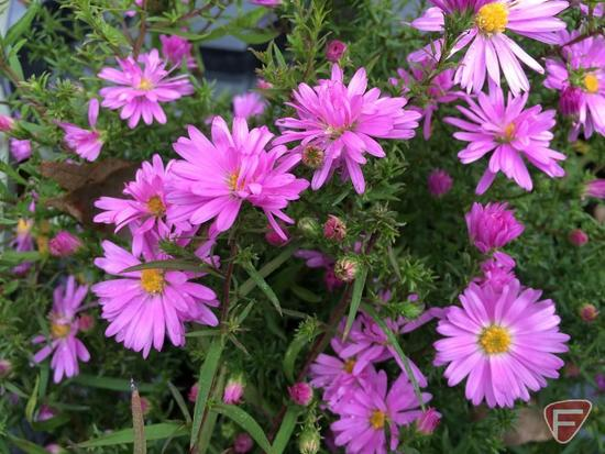 "(5) Aster Divaricuatus ""Woods Pink"" #1 Pot"