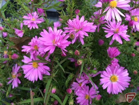 """(5) Aster Divaricuatus """"Woods Pink"""" #1 Pot"""