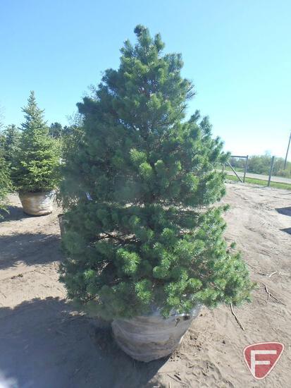 7-8' Scotch Pine