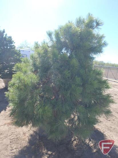 7-8' Ponderosa Pine