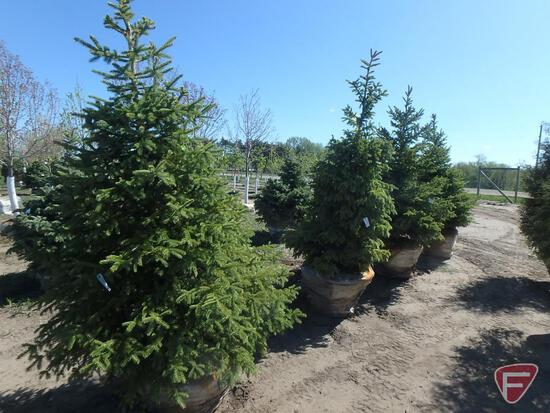 (4) 7' Black Hills Spruce