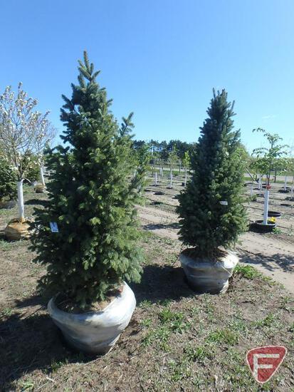 (2) 6' Blue Spruce Upright