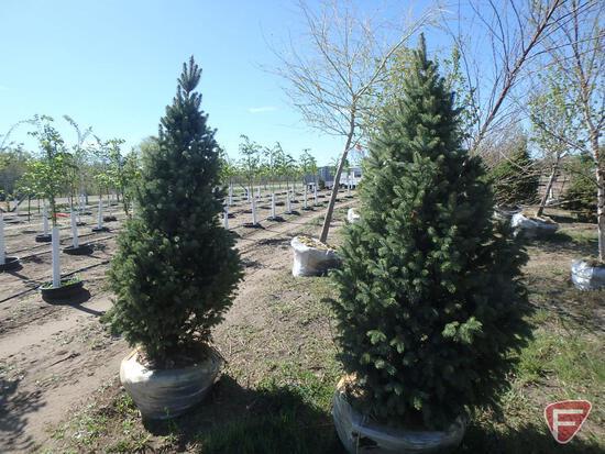 """(2) 6-7"""" Blue Spruce Upright"""