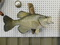 TAXIDERMY SMALLMOUTH BASS ON WALL MOUNT