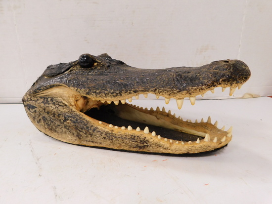 TAXIDERMY ALLIGATOR HEAD