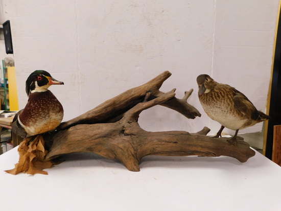 PR. TAXIDERMY WOOD DUCKS ON LOG