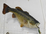 TAXIDERMY LARGE MOUTH BASS WITH LURE