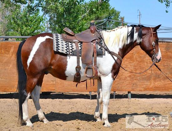 """Puzzles"" 1100 lb Bay Paint Grade Gelding- See Video!"