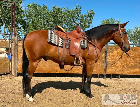 """Freddy"" 1150 lb Bay Grade Gelding- See Video!"