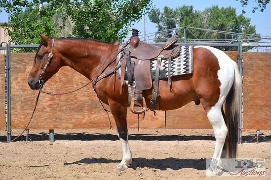 """Gumby"" 1100 lb Tobiano Paint Grade Gelding- See Video!"