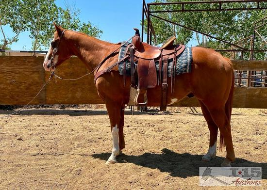 """Zip"" 1100 lb Grade Sorrel Overo Paint Gelding- See Video!"