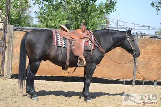 """Hershey"" 1150 lb Black Grade Gelding- See Video!"
