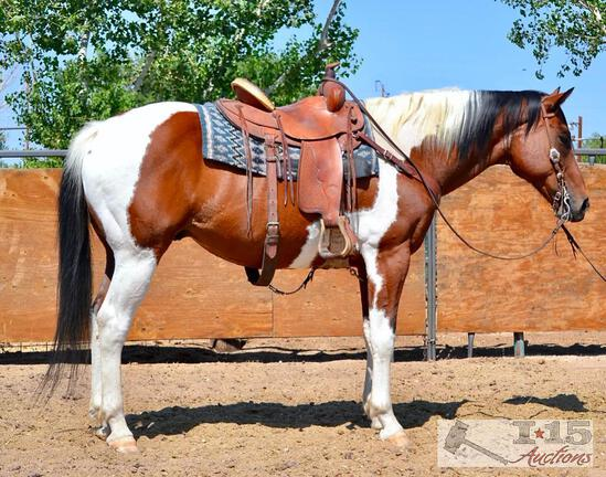"""Mr. Spot"" 1250 lb Bay Tobiano Grade Gelding- See Video!"