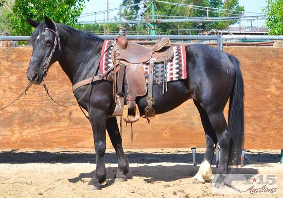 """Lilly"" 1050 lb Black Friesian Cross Grade Mare- See Video!"