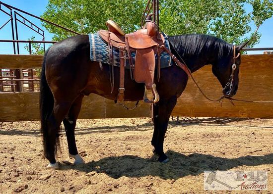 """Scooter"" aka Edward 1150 lb Black Grade Gelding- See Video!"
