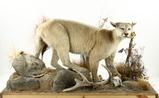 Taxidermy Full Grown Mountain Lion