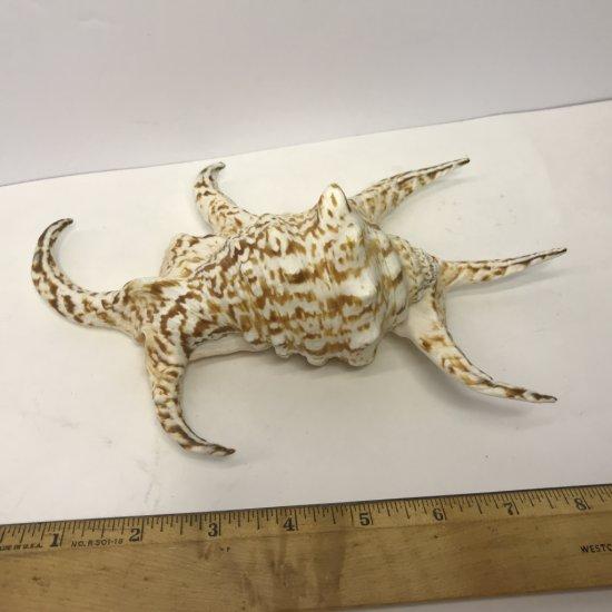 Beautiful Lambis Scorpio Sea Shell