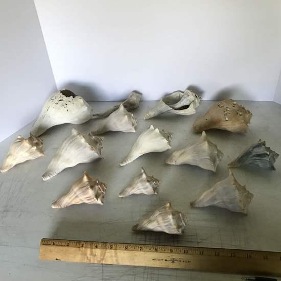 Lot of Beautiful Conch Shells