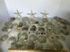 Lot of Awesome Sand Dollars & Misc Shells