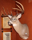 10 Point Buck Mount