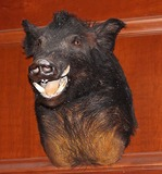Wild Boar Head mount