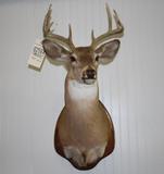 White Tailed Deer Mount