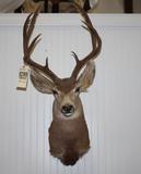 Mule Deer Mount