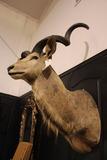 Africam Kudu Mount