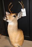 Deer Mount 7 Pt. Buck