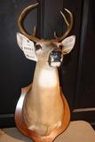 Deer Mount 6 Pt. Buck