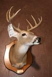 Deer Mount 10 Pt. Buck