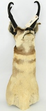 Wall Hanging Taxidermy Pronghorn Antelope Mount