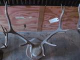 5x5 Elk Horns