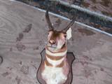 Pronghorn antelope Mount Damaged