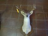 13pt Wt Mount Deer Head Nov of 1982