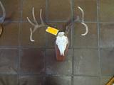 12pt European Mount Deer Skull