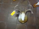 10pt European Mount Deer Skull