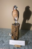 Carved wood and painted American Kestrel by Emeric Zuccaro