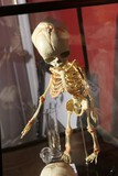 Contents of display case, faux skeleton etc