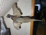 Vintage Mounted Pheasant