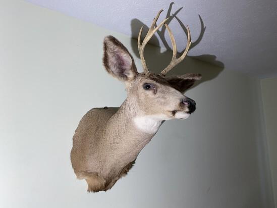 Vintage Taxidermy Deer Mount - Buck