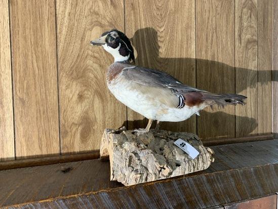 Vintage Wood Duck Taxidermy Mount