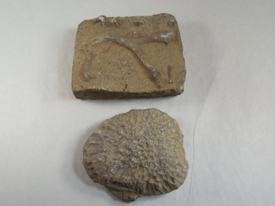 Two Unusual Fossils - Plant or Bone and Underwater Creature