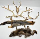 lot of (2) pelts and assorted antlers